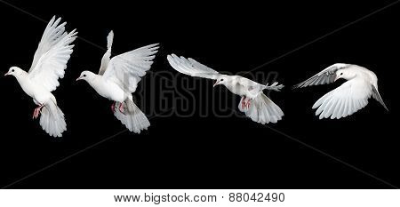 White dove flying sequence