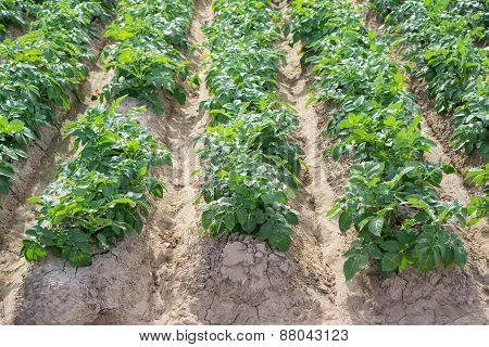 Side view of potato plantation rows and furrows