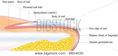 Nail deep anatomy