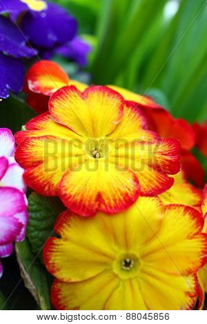 Yellow And Orange Primula