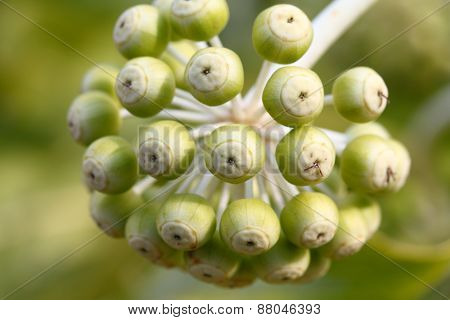 Fatsia Japaonica Flower Buds