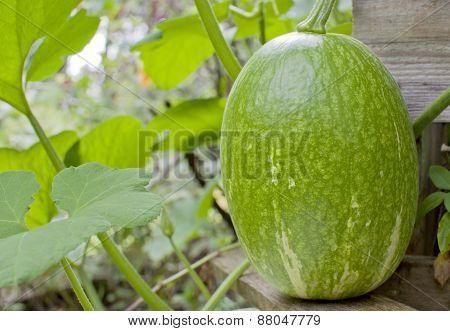 Fig-leaf gourd