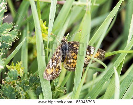 Moth In Grass