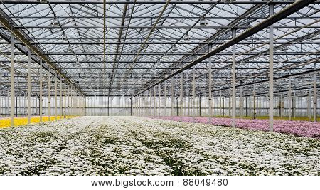 Greenhouse Of A Cut Flower Nursery With Blooming Chrysanthemums
