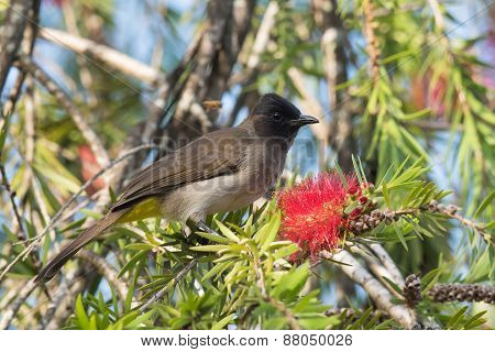 Blackeyed Bulbul (pycnonotus Barbatus) Perched Beside A Bottle Brush Flower
