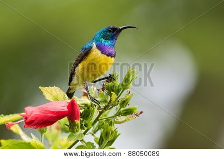Yellow-bellied Sunbird (nectarinia Venusta) Perched Fon Top Of Flowering Bush
