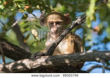 Baby Yellow Baboon (papio Cynocephalus) Sitting In A Tree