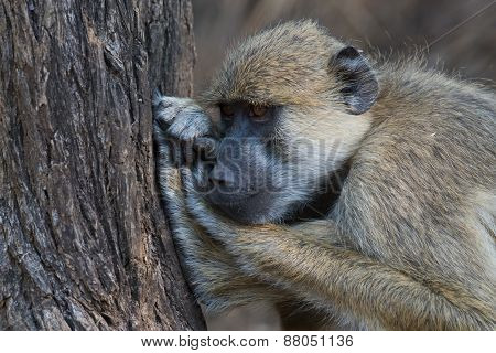 Yellow Baboon (papio Cynocephalus) Fighting Off Boredom