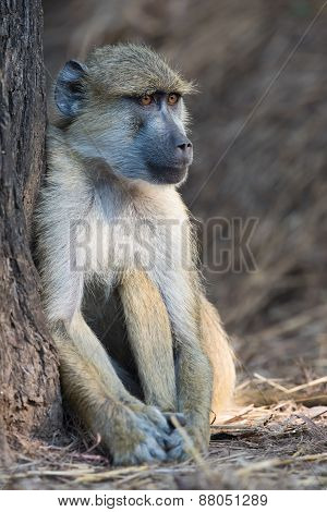 Yellow Baboon (papio Cynocephalus) Sitting Beside A Tree Trunk