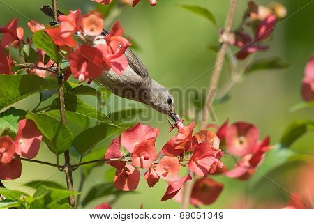 An Ant Defending A Flower From A Female Yellow-bellied Sunbird (nectarinia Venusta)