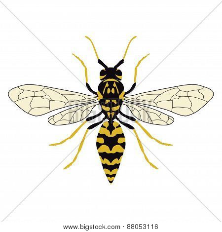 Vector illustration of a wasp. Top view.