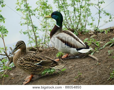 Wild Ducks At The Pond