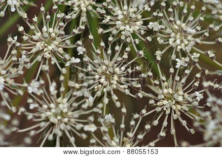 Yarrow Plant Flowers Macro