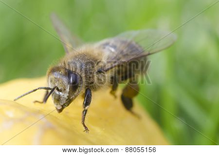 Close-up Bee On Lemon