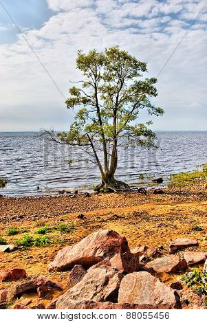 Tree on the coast of the Gulf of Finland