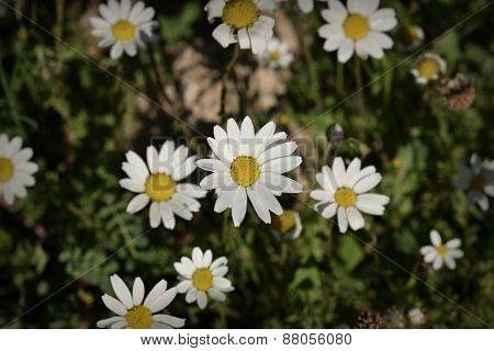 Daisy Flowers Spring Nature