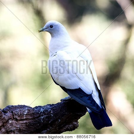White Pigeon Sitting On The Tree