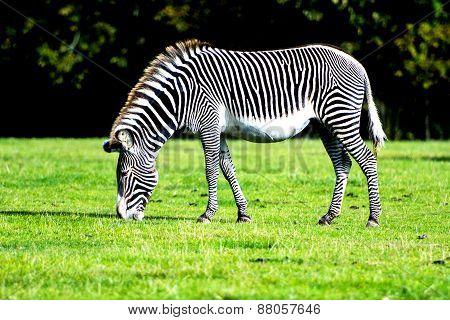 Zebra Grazing In The Wild