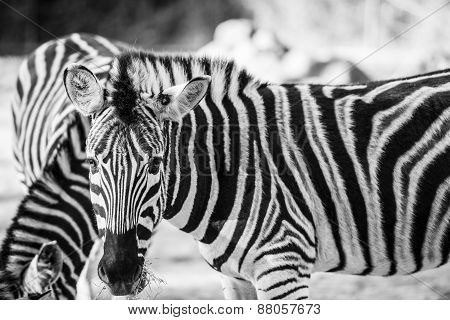Zebra Grazing In The Wild