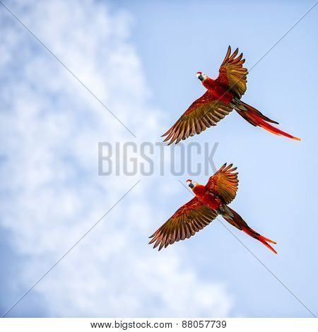 Bright Scarlet Macaw In Flight