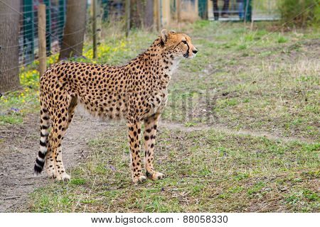 Cheetah Gepard, Acinonyx Jubatus