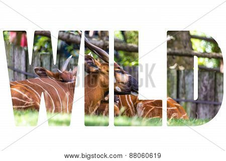 Word Wild Over Bongo Taurotragus Euryceros Isaaci Antilope