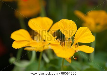 gardening, botany and flora concept - beautiful yellow flowers at summer garden