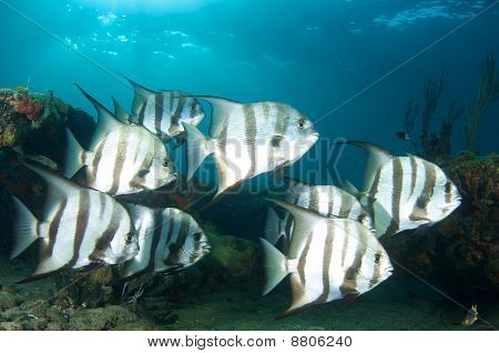School of Atlantic Spadefish