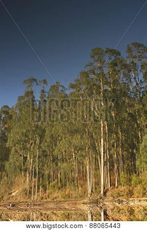 Eucalyptus Forest Reflected On The Surface Of A Lake.