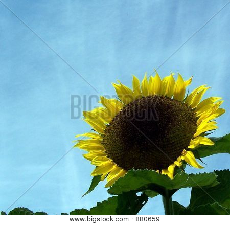Sunflower Against A Vibrant Blue Sky