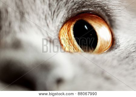 Yellow Eye Of Gray British Cat