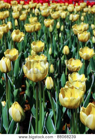 Many Yellow Tulips In A Flowerbed