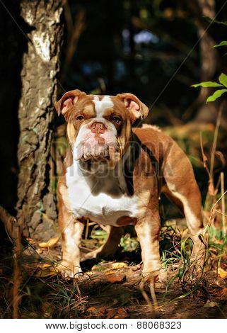 A Lilac Color English Bulldog Sits On A Bed Of Autumn Leaves.