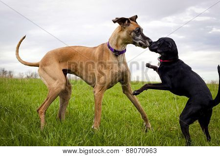 Two dogs in grassy field being silly