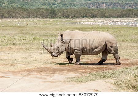 White Rhinoceros Walking Over Flat Open Landscape