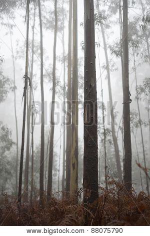 Eucalyptus Forest In Fog