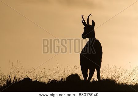 Rupicapra rupicapra, wild chamois in backlight, backside, Jura, France
