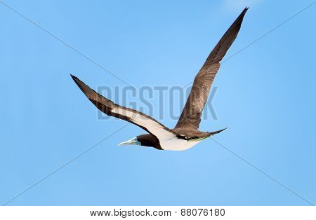 Brown Booby in Flight, Great Barrier Reef, AU