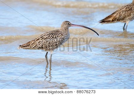 Eastern Curlew - Queensland, Australia