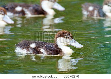 Radjah Shelduck Ducklings, Queensland, Australia