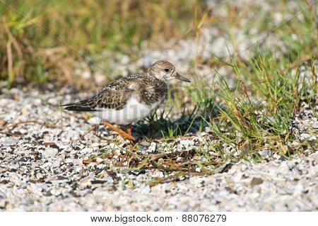 Ruddy Turnstone, Queensland, Australia