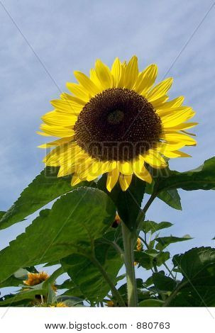 Large Yellow Sunflower With Vibrant Blue Sky
