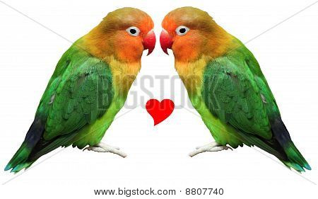 Loving Bird Agapornis-fischeri