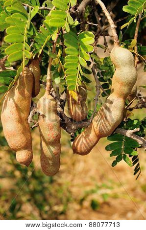 Tamarind Fruits Hangin