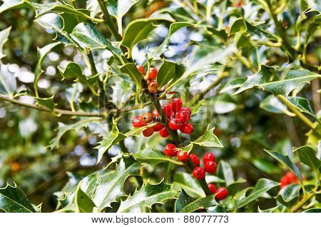 Red berries holly bush