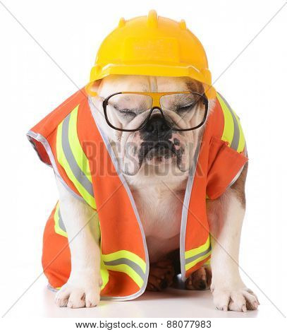 sleeping on the job - bulldog dressed up like construction worker on white background
