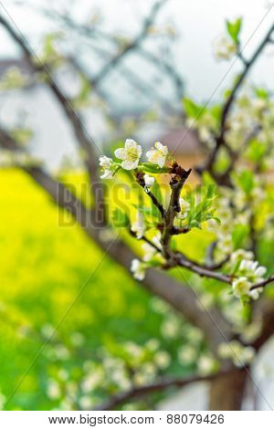 Spring in the fields of rape and with dew white plum close-up