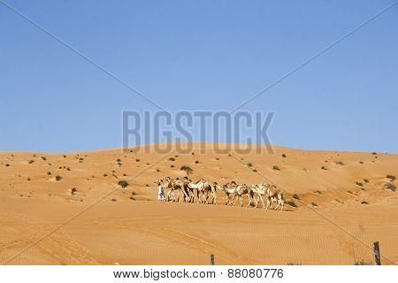 Desert tour guide, Arab man with his camels, Wahiba Desert, Oman, 2/16/14,