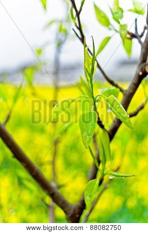 Sprouting of pear tree