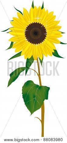 Sunfolwer Vector